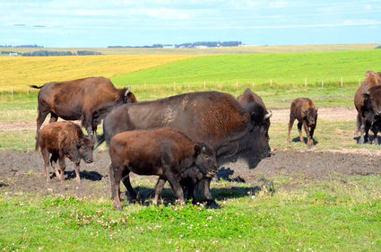 86904fda03a The Buffalo are coming back! A gift of reconciliation